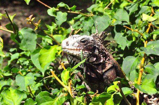 Secret Harbour Beach Resort: Iguana on the grounds