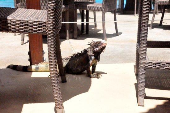 Secret Harbour Beach Resort: Iguana at the bar.