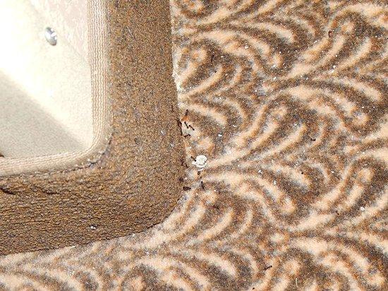 Comfort Suites: Ants