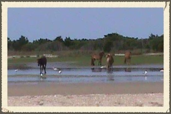 Add A Caption Picture Of Shackleford Wild Horse Amp Shelling Safari Beaufort Tripadvisor