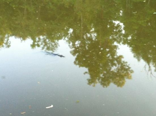 Lake Fausse Point State Park : Small 'gator in the bayou