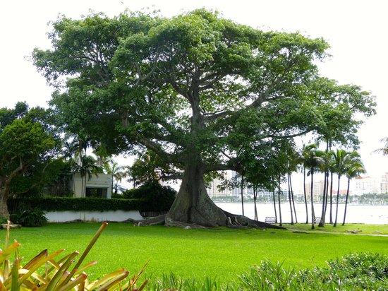 Henry Morrison Flagler Museum: Kapok Tree