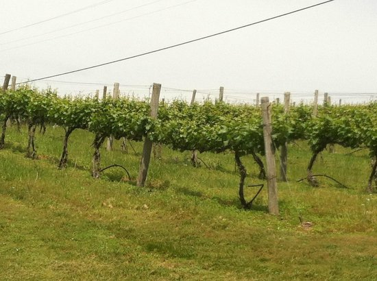 Chateau Chantal Winery & Tasting Room: The vines