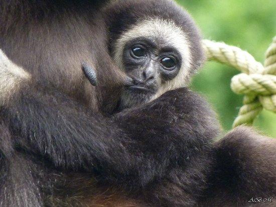 Spaycific'Zoo : bébé singe à la tété