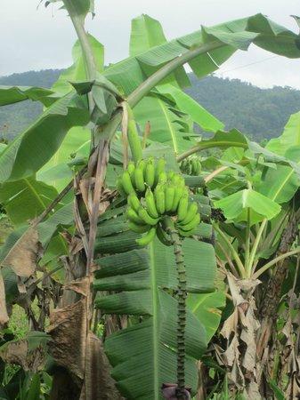 La Anita Rainforest Ranch: Banana trees