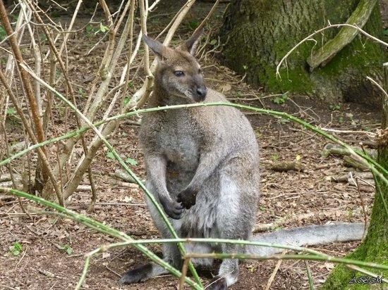 Spaycific'Zoo : wallabi