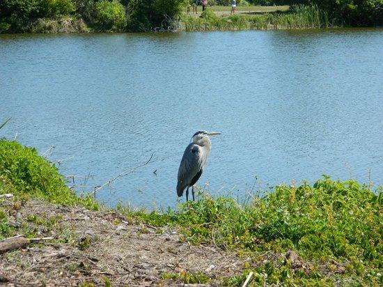 Venice Area Audubon Society : Where is the fish?