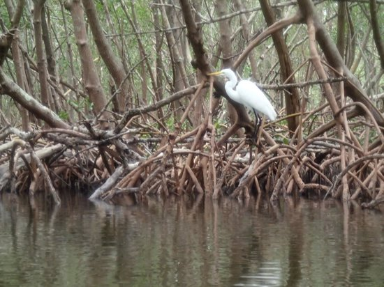 Almost Heaven Kayak Adventures: Egret in a mangrove tunnel