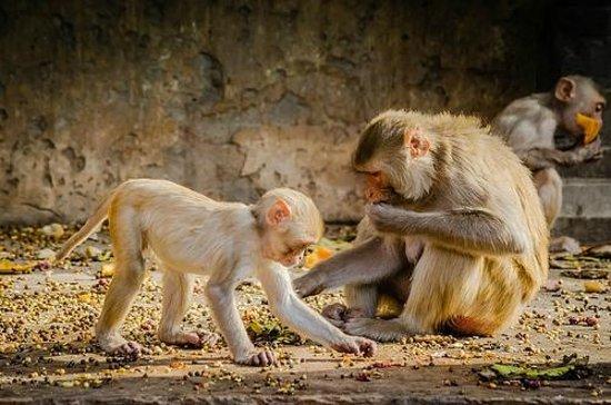 Galtaji Temple : Well fed monkey