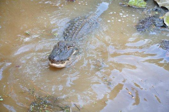 Captain Ron's Gator Park, Petting Zoo and Botanical Gardens: Gator park
