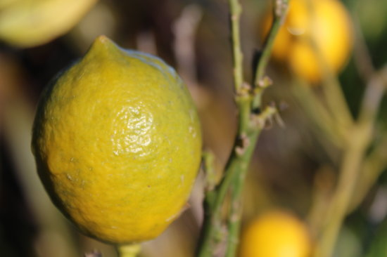 Almyra Waterfront Lodge : Our beautiful lemons