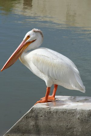 Bear River Migratory Bird Refuge: Pelican