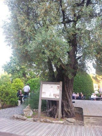 Belambra Clubs -  Les Terrasses de St  Paul-de-Vence : un olivier