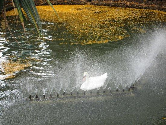 Jardim de Sao Francisco : Close up of Swan showering