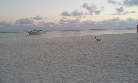 Asdu Sun Island: il gallo sulla spiaggia