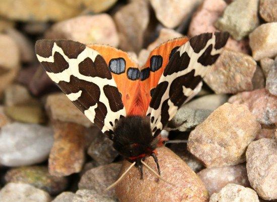 Crimond, UK: Garden Tiger Moth at Loch of Strathbeg