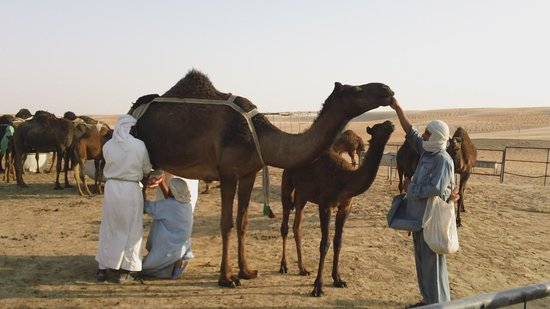 Tilal Liwa Hotel: And the residents, being milked