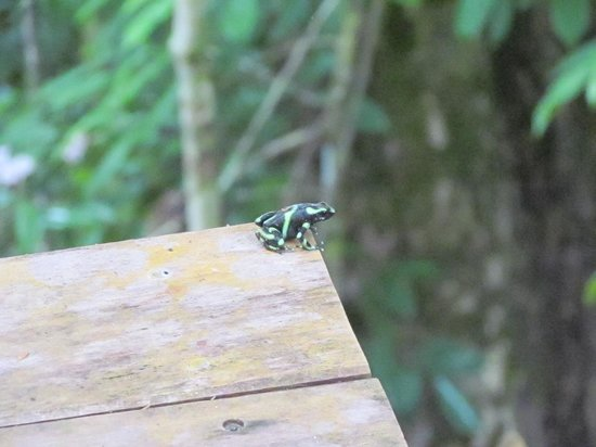 El Remanso Lodge: Sharing a viewing platform with a poison dart frog.