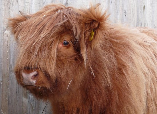 Barnsdale Lodge Hotel and Restaurant: New addition to Highland Cattle Herd