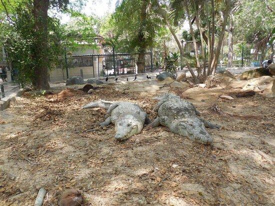 Acuario Mazatlan: Crocodiles
