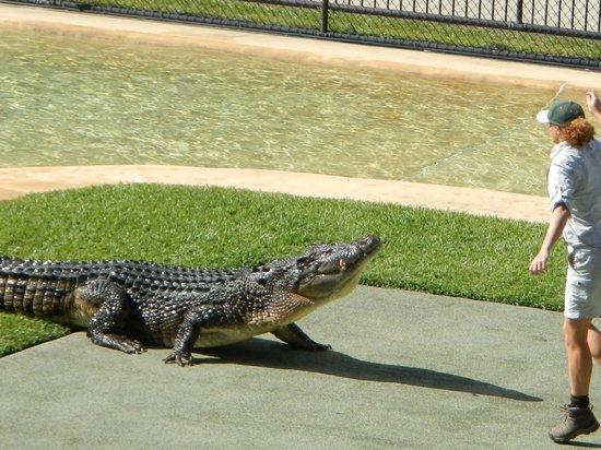 Australia Zoo: Hungry croc