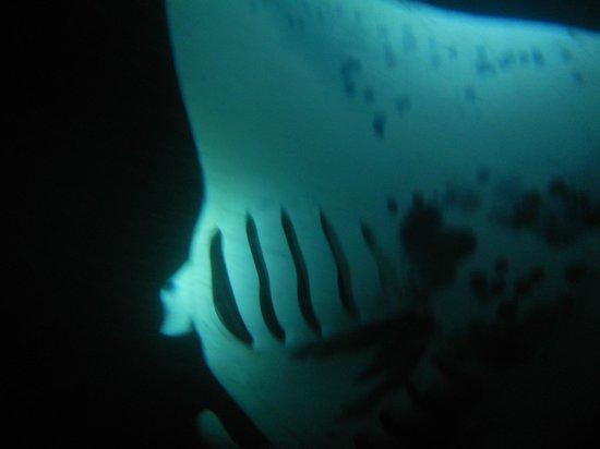 Aloha Ocean Excursions: Giant Manta with Sea Hawaii Rafting