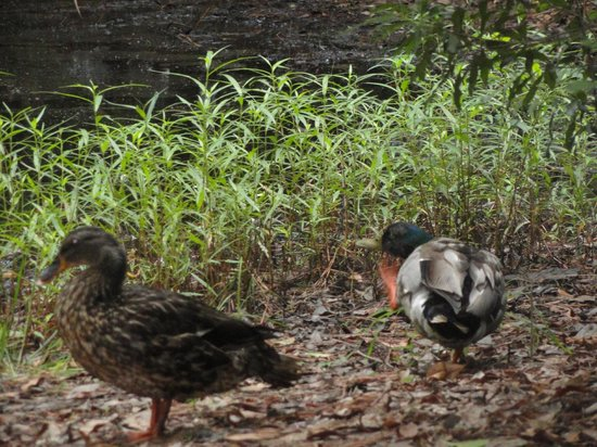 First Landing State Park: Mallard ducks visited our campsite