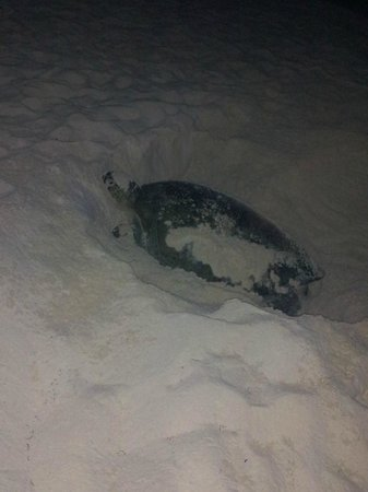 Oleo Cancun Playa: From May to July you'll see these 150 pound turtles coming off the beach to lay eggs around 11pm
