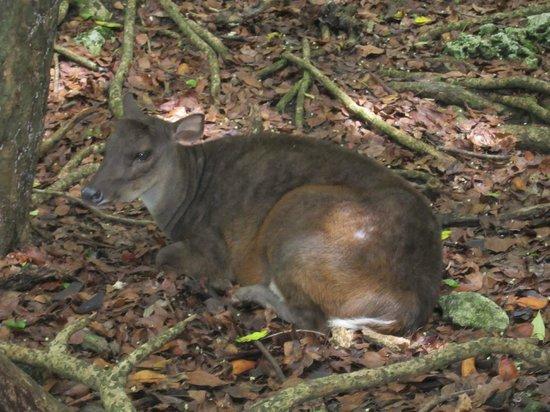 Barbados Wildlife Reserve: Deer