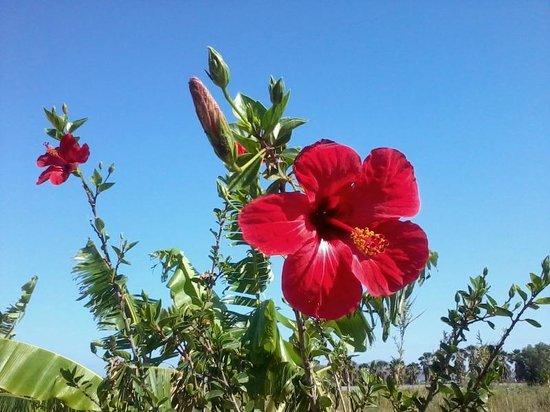 Tigaki's Star Hotel: beautiful hibiscus