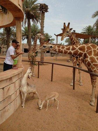 Emirates Park Resort: Feeding the giraffes outside our hotel room!