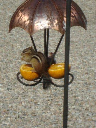 Long Dell Inn: Chipmunk on bird feeder