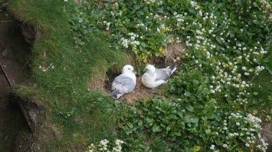 Thurso, UK: puffins at dunnet head