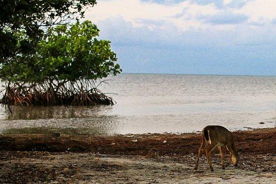 Deer Run Bed & Breakfast: deer wandering in the morning on the beach