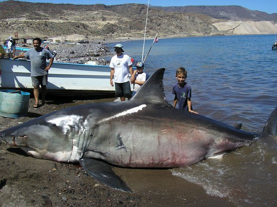 Puerto San Carlos, Mexico: 19 foot Sharky !!!