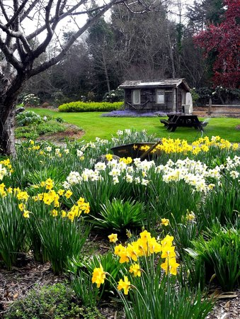 Форт-Брэгг, Калифорния: Daffodils at the Mendocino Coast Botanical Gardens