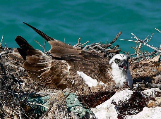 Pirate's Cove: Osprey