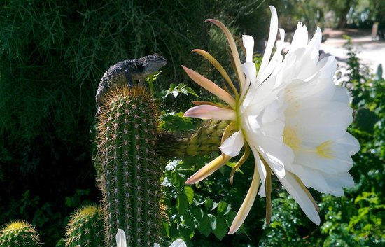 29 Palms Inn: Desert spiny lizard perched beside a night-blooming cereus blossom