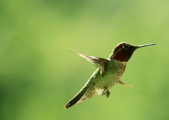 Blackberry Inn at Yosemite: Hummingbird