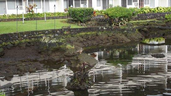 Hilo Seaside Hotel: koi pond