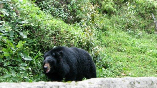 Padmaja Naidu Himalayan Zoological Park: Bear