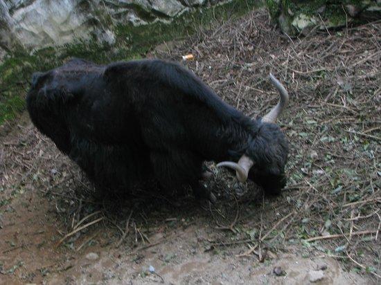 Padmaja Naidu Himalayan Zoological Park: Yak
