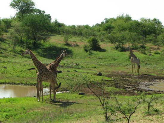 giraffes at Gruispan Dam, Marloth Park