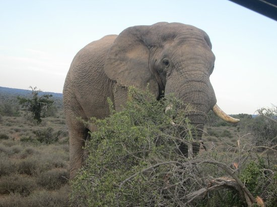 Kuzuko Lodge: Saracen the resident bull elephant