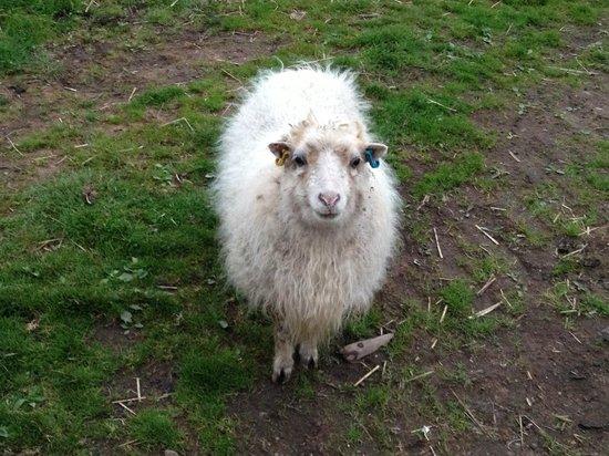 Broadlea of Robgill : Lightning McQueen the mini sheep