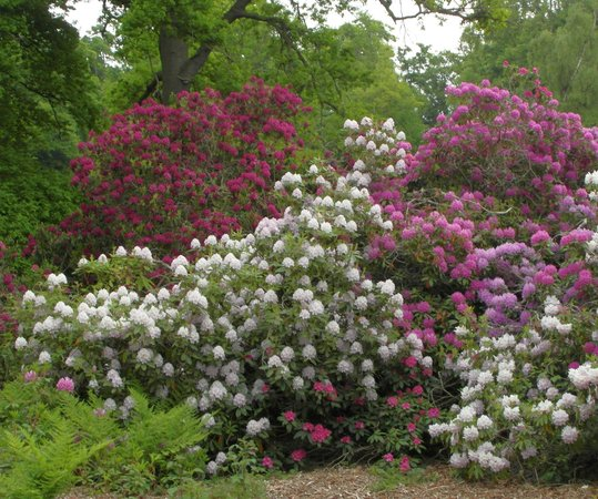 Колдстрим, UK: Rhododendrons in June