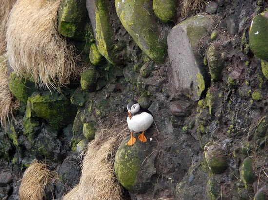 Stonehaven, UK: Puffin at Fowlsheugh