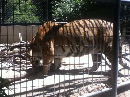 Folsom City Zoo: the Tiger