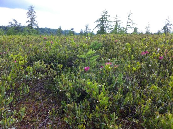 National Capital Greenbelt : Wild Flowers at Mer Bleue Bog