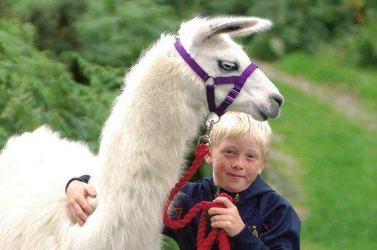 Black Rock Llamas: Bertie getting cuddles